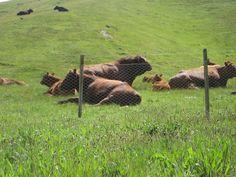 Romsey cows