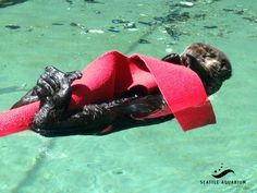 Sea otter pup Mishka curls up with faux kelp - June 27, 2015