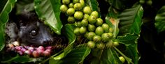 A visit to a Luwak coffee plantations in Bali
