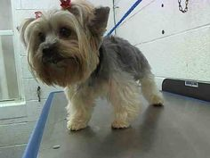 SAFE --- PRINCESS (A1641291) I am a female tan and black Yorkshire Terrier.  The shelter staff think I am about 6 years old.  I was found as a stray and I may be available for adoption on 09/11/2014. — : Miami Dade County Animal Services. https://www.facebook.com/urgentdogsofmiami/photos/pb.191859757515102.-2207520000.1410121584./835440816490323/?type=3&theater