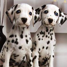 Pair of Dalmatian pups!