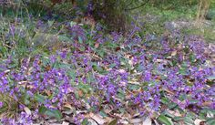 Hardenbergia growing naturally as a groundcover