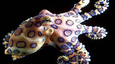 Although it may not be as physically imposing as some of the other creatures on this list, the blue ringed octopus is easily one of the most dangerous animals in the ocean. It's venom is extremely potent and because there is no antivenin, it is certainly a good idea to steer clear.