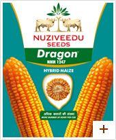 Maize : Dragon (NMH 1247)