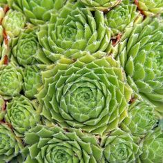 Sempervivum Kindergeri Best planted in clusters, Sempervivum throw new offsets (chicks) each spring. Once a plant blooms, it dies, but the chicks carry on for future years, maturing and making their own offsets. Common names are 'Hens & Chicks' and 'Houseleeks' zones 5+