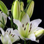 Navonna Asian Lilies, Lily, Plants, Orchids, Flora, Plant, Lilies