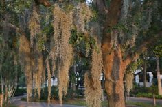 Spanish Moss hanging from an orange-brown tree at USF