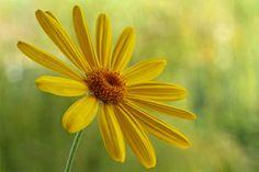 """Yellow Flower"" by Abdulkadir Abaz, via 500px."