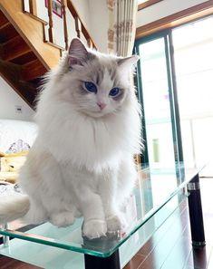 rag doll cat ragdoll kittens hello there! Cute Baby Cats, Cute Cats And Kittens, Cute Baby Animals, I Love Cats, Kittens Cutest, Pretty Cats, Beautiful Cats, Beautiful Places, Ragdoll Cat Breed