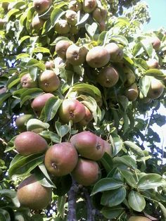 A plethora of pears this summer...