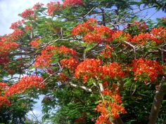 Flamboyant Tree or Royal Poinciana.