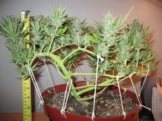 Growing Weed, Hydroponic Grow Systems, Hydroponics, Bonsai, Marijuana Plants, Buy Weed, Medicinal Herbs, Gardens, Book Lovers