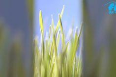 Weizengras - reich an  Antioxidantien und Vitamin C. Ob selbst angebaut oder käuflich erworben in Saftform oder Pulver, dem Körper und der Gesundheit tut Weizengras gut. Toll auch als Zusatz in Grünen Smoothies.