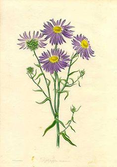 Antique print: picture of Aster flowers - Diplopappus incanus, California, USA