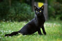 October is Black Cat Awareness Month, so help spread the word about black cats and dispel some of the myths that keep them from finding forever homes! Names For Black Cats, Cat Names, Cat Breeds With Pictures, Black Cat Breeds, Different Breeds Of Cats, Large Domestic Cat Breeds, Black Cat Appreciation Day, Boston Terrier Dog, Maine Coon Cats