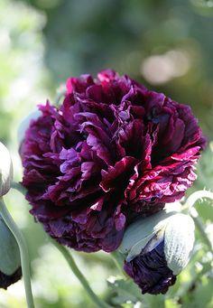 Black Peony- My favorite flower
