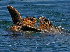 Sea turtles splashing