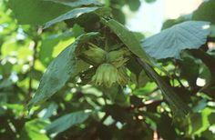 Közönséges mogyoró (Corylus avellana, Betulaceae) rojtos kupacslevelű makktermésekkel (Turcsányi Gábor felvétele) Plant Leaves, Plants, Plant, Planets