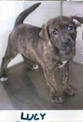 LUCY is an adoptable Mountain Cur Dog in Stafford, VA. LUCY is a 15 week old Mountain Cur mix. She is a beautiful brindle color with a black mask.  For more information about adopting, please call us ...