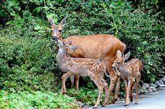 シカ子鹿赤ちゃん動物アート鹿の装飾野生動物の写真自然写真赤ちゃん動物写真双子性質の印刷物自然アート by PeggyCollinsPhotoArt