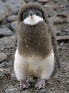 Птенец пингвина Адели на острове Паулет. (Sergey Kokinskiy / Rex Features)