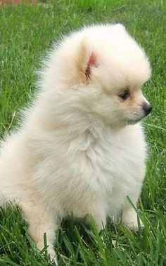 White Pomeranian Puppy Source by The post White Pomeranian Puppy appeared first on Dogs and Diana. White Pomeranian Puppies, Cute Puppies, Cute Dogs, Dogs And Puppies, Doggies, Cute Baby Animals, Animals And Pets, San Bernardo, She Wolf