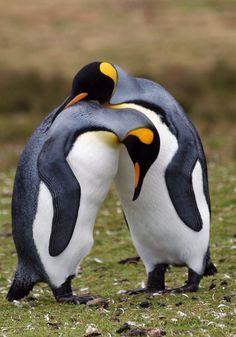 Foto pinguim-rei (Aptenodytes patagonicus) por Joao Quental