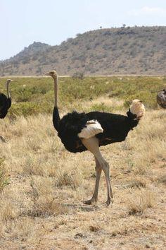 ostrich - Kenya/Tanzania