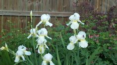 Irises originally from my grandmother's garden.