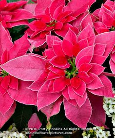 Pink Poinsettias ~ a Pink Christmas ♥♥