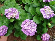Hydrangeas aren't just for your grandmother's garden anymore. Learn how to care for hydrangeas and discover new varieties from HGTV.