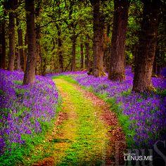 Camino #Bluebell de Perthshire. | #Escocia #Scotland
