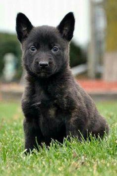 8 Best Blue Dutch Shepherd Images Dutch Shepherd Dog Shepherd Dogs