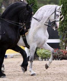 Horse, Baroque stallions