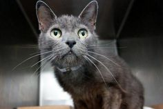 """GRACIE - A1091290 - - Manhattan  ***TO BE DESTROYED 10/07/16*** JUST WHEN YOU THINK YOU'VE HEARD THE SAME STORIES BEHIND EVERY CAT'S LIFE…A NEW ONE COMES ALONG! MEET """"AMAZING"""" GRACIE! Found in a basement 6 years ago, estimated to be 7-8 years old. Has lived in the basement ever since and has been visited by the Finder, every 2 weeks. But is already NEUTERED so possibly left behind by an old tenant. This sweet guy was just just happy to see this"""