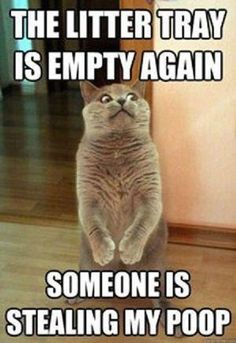 Litter Tray is Empty 20 other Funny Cat Captions - Funny Cat Quotes Funny Cat Captions, Cute Cat Memes, Funny Cute Cats, Funny Cat Photos, Funny Animal Memes, Funny Cat Videos, Funny Animal Pictures, Funny Animals, Funniest Animals