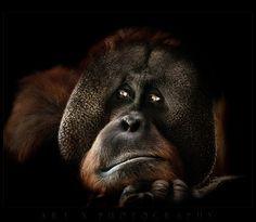 """Contemplating"" | Santan, a large male Sumatran Orangutan, Photographer: Art X, Melbourne Zoo, 2012"