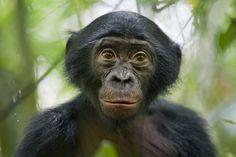 Derde prijs in de categorie 'Nature Stories'. 25 januari 211, Congo. Een nieuwsgierige vijf jaar oude bonobo in het Kokolopori Bonoboreservaart in Congo.