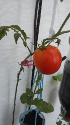 Meu tomateiro em garrafa Pet. Zenaide Sandes