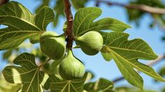 Greetings Card-Fig tree, Sicily, Italy-Photo Greetings Card made in the USA Sicily Italy, Fig Tree, Travel Images, Agriculture, Photo Wall Art, Poster Size Prints, Plant Leaves, Canvas Prints, Fruit