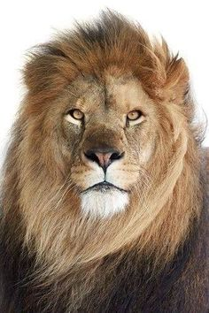 This image was sold today Portrait of the amazing male Lion (Panthera leo) Beautiful Lion, Animals Beautiful, Cute Animals, Lion Images, Lion Pictures, Lion Tigre, Lion Photography, Lions Photos, Lion Painting