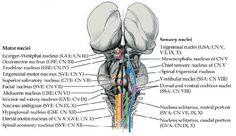 purkinje neurons, granule cell layer in the cerebellum