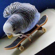 Budgie Bird on wheels,hey dude