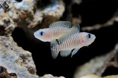Neolamprologus multifasciatus. Have a tank full of these cute guys. Tanganyikan shell dwellers are such a joy to keep.