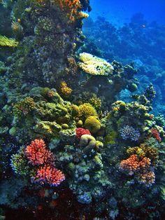 One moment from the amazing coral world, Port Sudan  لحظة واحدة من عالم الشعاب المرجانية المدهش، بورتسودان  http://www.panoramio.com/m/photo/80336060   #sudan #coralreef #portsudan #redsea