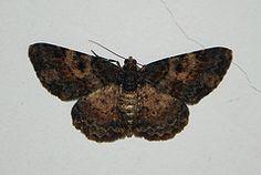 Cleora sp. Geometridae, Ennominae, Boarmiini