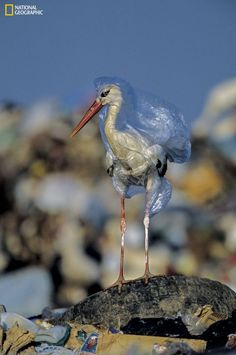 This is a picture of a stork stuck in a plastic bag taken by National Geographic, another reflection of the rise in pollution in the world. Ocean Pollution, Environmental Pollution, Plastic Pollution, Pollution Environment, Save Planet Earth, Save Our Earth, National Geographic Cover, Angst Quotes, Environmental Science