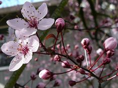 Cherry Tree Flower Blossom 2 by ~Enchantedgal-Stock on deviantART