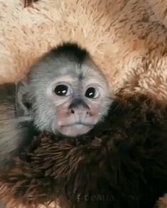 to make JayJay🐒 fall a sleep 😌❤️ Isn't He the cutest monkey in t., How to make JayJay🐒 fall a sleep 😌❤️ Isn't He the cutest monkey in t., How to make JayJay🐒 fall a sleep 😌❤️ Isn't He the cutest monkey in t. Cute Little Animals, Cute Funny Animals, Cute Dogs, Cute Babies, Funny Monkeys, Cute Baby Monkey, Pet Monkey, Capuchin Monkey Pet, Monkey Gif