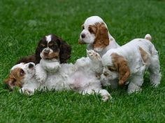 Cocker Spaniel Puppies. The tri looks like my little Mikey. I miss him so much.